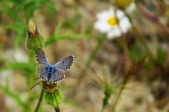 Borboleta bonita de Eros Blue Imagem de Stock