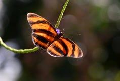 Borboleta bonita do ismenius de Heliconius, macro marrom da borboleta de Eueides Isabella Imagem de Stock Royalty Free