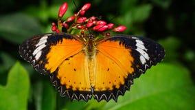 Borboleta bonita do Lacewing do leopardo Imagens de Stock