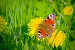 Borboleta bonita e dente-de-leão amarelo. Imagem de Stock