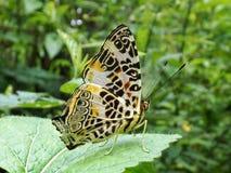 Borboleta bonita em um teste padrão mágico da mostra da folha em suas asas fotos de stock royalty free