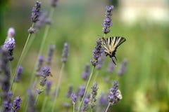 A borboleta bonita Iphiclides Podalirius em uma flor da alfazema recolhe o n?ctar em um dia de ver?o ensolarado foto de stock royalty free