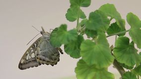 Borboleta bonita que descansa na flor, fim acima da borboleta grande que senta-se nas folhas verdes, inseto no habitat da naturez video estoque