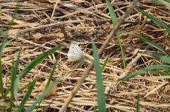 Borboleta branca, após a hibernação, sentando-se na grama seca do ` s do ano passado na mola adiantada Fotografia de Stock