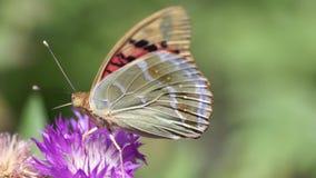 A borboleta branca bebe o néctar de uma flor cor-de-rosa em um campo da mola vídeos de arquivo