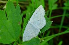 Borboleta branca da manhã clara do verão em uma folha verde em um arvoredo da grama Foto de Stock