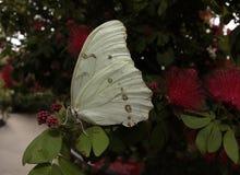Borboleta branca do morpho em uma folha imagens de stock royalty free
