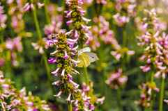 A borboleta branca e amarela bonita senta-se na flor fotografia de stock