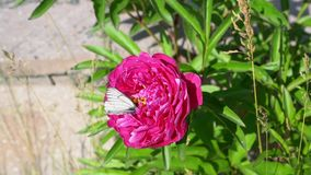 Borboleta branca em uma flor cor-de-rosa video estoque