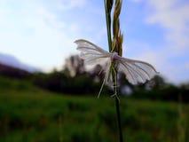 Borboleta branca em uma lâmina de grama verde imagens de stock royalty free