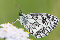 Borboleta branca marmoreada Foto de Stock Royalty Free