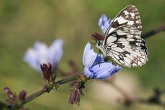 Borboleta branca marmoreada - galathea de Melanargia Fotos de Stock