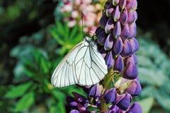 Borboleta branca na flor do lupine Foto de Stock Royalty Free