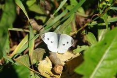 Borboleta branca no ambiente natural Foto de Stock Royalty Free