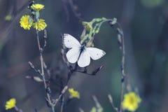 A borboleta branca paira sobre flores amarelas que recolhe o néctar Imagens de Stock
