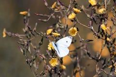 A borboleta branca paira sobre flores amarelas que recolhe o néctar Imagem de Stock