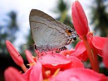 Borboleta branca pequena e ponto cor-de-rosa da flor Imagens de Stock Royalty Free