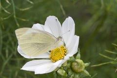 Borboleta branca pequena (rapae do Pieris) no cosmos Imagens de Stock Royalty Free