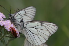 borboleta branca Preto-veada - crataegi de Aporia Imagem de Stock Royalty Free