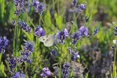 Borboleta branca quadriculado do protodice de Pontia em um arbusto prudente da flor da alfazema em um dia de verão quente New mex Imagens de Stock