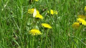 Borboleta branca que alimenta das flores do dente-de-leão filme