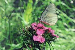 A borboleta branca que senta-se no cravo cor-de-rosa floresce no jardim Fotografia de Stock Royalty Free