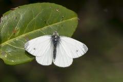 a borboleta branca Verde-veada que senta-se em uma folha com asas abre Foto de Stock Royalty Free