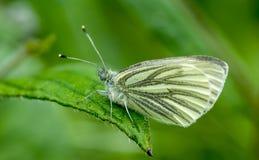 borboleta branca Verde-voada Imagens de Stock Royalty Free