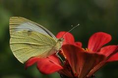 a borboleta Branco-amarela recolhe o néctar fotos de stock