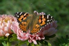 Borboleta brilhante com os pontos alaranjados nas asas dianteiras, pontos pretos das asas, os brancos e os pretos nas asas trasei fotografia de stock
