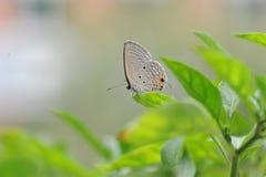 A borboleta cai nas folhas da pimenta Foto de Stock Royalty Free