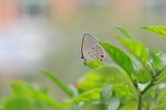 A borboleta cai nas folhas da pimenta Fotografia de Stock