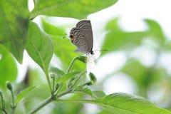 A borboleta cai nas folhas da pimenta Fotos de Stock Royalty Free