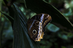 Borboleta - Caligo Memnon Fotografia de Stock Royalty Free