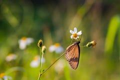 Borboleta cinzenta com as flores selvagens brancas da margarida Imagem de Stock