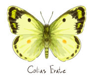Borboleta Colias Erate. Foto de Stock