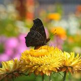 Borboleta colorida em flores fotos de stock royalty free