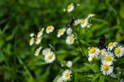 Borboleta com as asas coloridas na flor branca da camomila Fotos de Stock