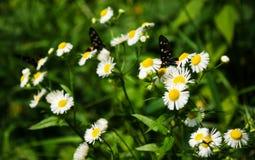 Borboleta com as asas coloridas na flor da camomila, no fundo da grama verde Fotos de Stock