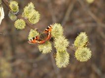 Borboleta com as asas marrons alaranjadas Imagens de Stock