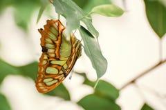 Borboleta com as grandes asas verde-amarelas de cabeça para baixo em uma vida Stelenes de Siproeta malachite imagens de stock royalty free