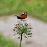 A borboleta com asas espalhadas senta-se em uma lâmina de grama Fotografia de Stock Royalty Free