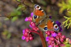 Borboleta com espalhamento das asas coloridas em uma flor do close-up Imagem de Stock Royalty Free