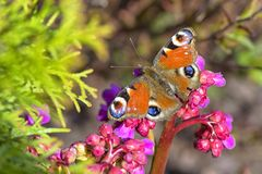 Borboleta com espalhamento das asas coloridas em uma flor do close-up foto de stock
