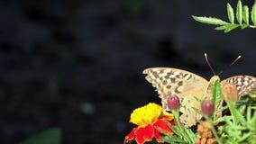 A borboleta come o n?ctar de uma flor amarela video estoque