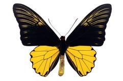 Borboleta comum de Birdwing fotos de stock royalty free