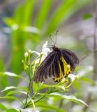 Borboleta comum de Birdwing em um jardim fotos de stock