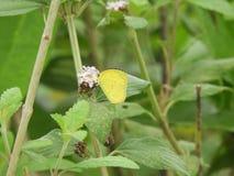 Borboleta comum do amarelo da grama no camara do Lantana Fotografia de Stock
