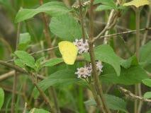 Borboleta comum do amarelo da grama no camara do Lantana Fotos de Stock Royalty Free
