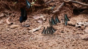 A borboleta comum do gaio na terra video estoque